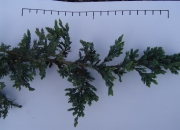 juniperus-horizontalis-bar-harbour