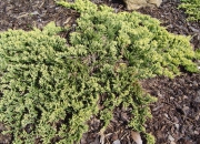 juniperus-horizontalis-golden-carpet