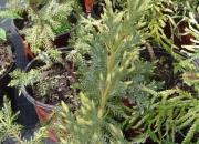 juniperus-squamata-aurescus