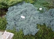 juniperus-squamata-blue-star