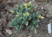 juniperus-squamata-floriant