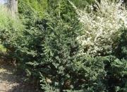 juniperus-squamata-meyeri
