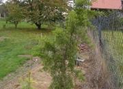 juniperus-virginiana-pendula