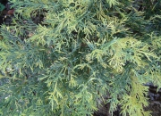 juniperus-x-media-blue-and-gold