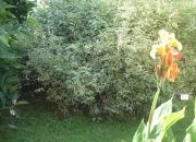 keria-japonica-picta