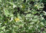 keria-japonica-picta_0