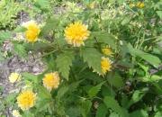 keria-japonica-pleniflora