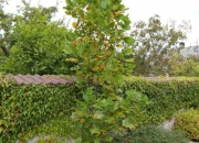 liriodendron-tulipifera-fastigiata