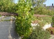 liriodendron-tulipifera-fastigiata_0