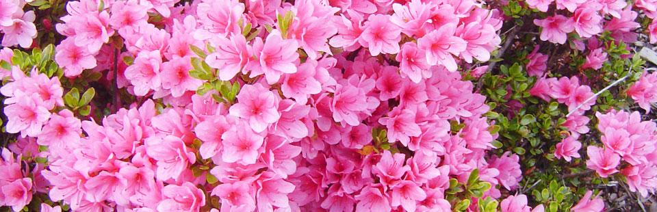 Vřesy, vřesovce, azalky, rododendrony